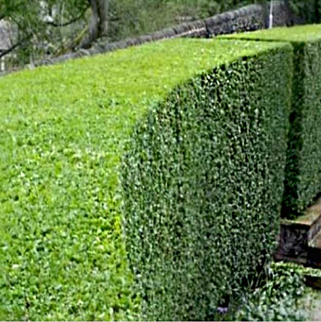 picture of hedge design